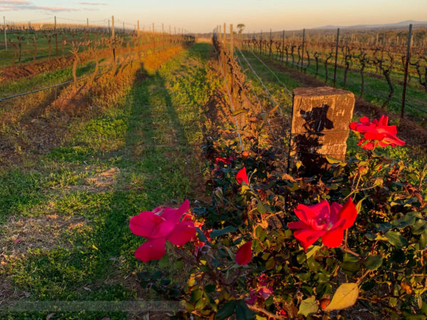 Rose Buds near the Hunter Valley vines